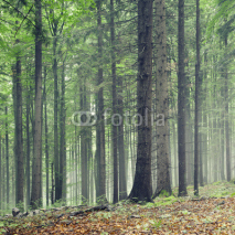 Fototapety Forest trees