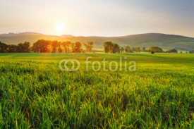 Fototapety Green wheat field
