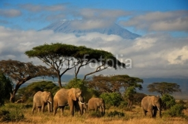 Fototapety Elephant family in front of Mt. Kilimanjaro