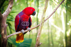 Fototapety Red Eclectus Parrot