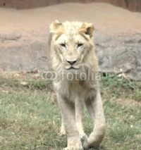 Fototapety young lion3