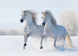 Fototapety Two white horses gallop on snow field