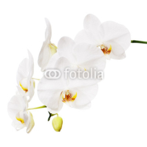 Naklejki White orchid isolated on white background.