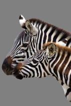 Fototapety Young  zebra and his mother. Isolated on grey background