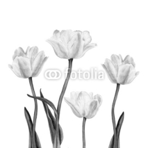 Fototapety Watercolor illustration of a beautiful white tulip flowers