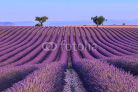 Naklejki Lavender field in the summer-France