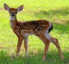 Fototapety Spotted Fawn