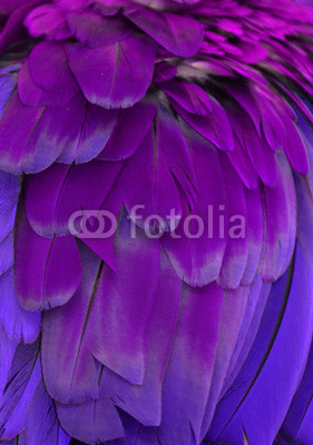 Purple and blue feathers of a macaw.