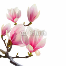 Fototapety plant on white magnolia