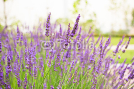 Naklejki Lavender flowers blooming background