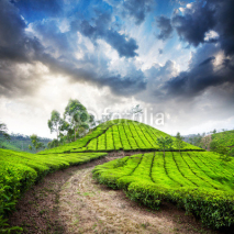 Naklejki Tea plantation in Munnar