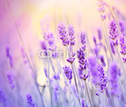 Fototapety Lavender lit by sun rays