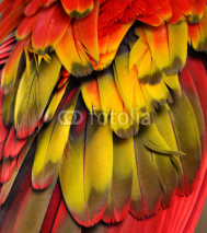 Naklejki Yellow, red, and orange feathers of a macaw.