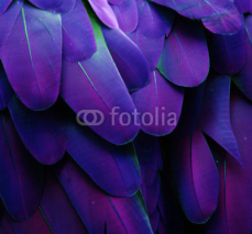 Naklejki Macro photograph of the blue and purple feathers of a macaw.