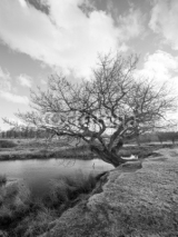 Fototapety Black and White image of an old Tree by a pond