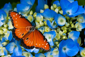 Fototapety Queen butterfly on blue hydrangea flowers