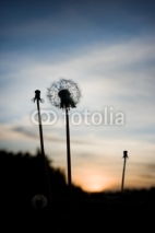 Fototapety Close up of silhouette of dandelion at sunset