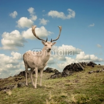 Obrazy i plakaty Male Stag Deer on a Mountain