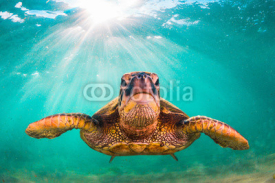 Naklejki Endangered Hawaiian Green Sea Turtle cruises in the warm waters of the Pacific Ocean in Hawaii