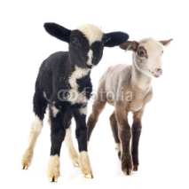 Fototapety young lambs