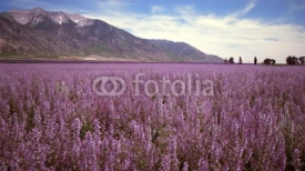 Fototapety Panning shot of lavender field and mountains