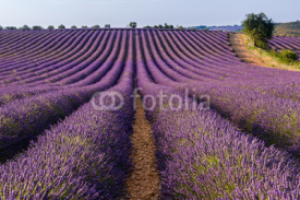 Fototapety Lavender field in Valensole plateau, Provence, (France)