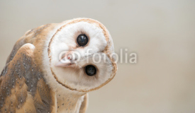 Obrazy i plakaty common barn owl ( Tyto albahead ) close up