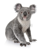 Fototapety Side view of Young koala, Phascolarctos cinereus, sitting
