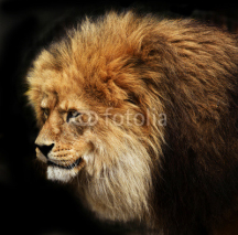 Fototapety Portrait of a male lion isolated on black background
