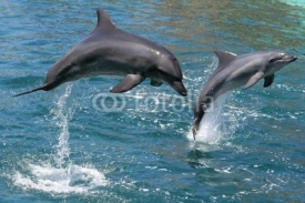 Fototapety Bottlenose dolphins leaping out of the water