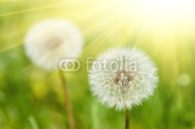 Fototapety sunny meadow with dandelions