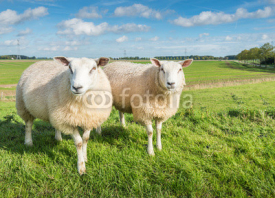 Fototapety Two curiously looking sheep