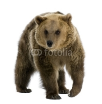 Fototapety Brown Bear, 8 years old, walking in front of white background