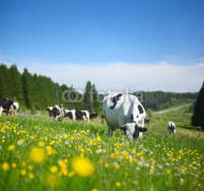 Fototapety Cows