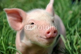 Fototapety Young pig on a green grass