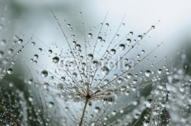 Fototapety dandelion seeds with drops