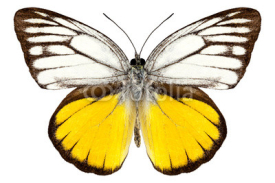 "Fototapety Butterfly species Cepora aspasia ""orange gull"""