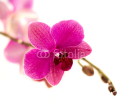 Fototapety violet orchid flower