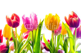 Fototapety Vibrant background of colourful spring tulips