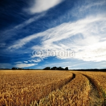 Fototapety Dramatic sky over a golden wheatfield