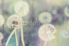 Fototapety close up of Dandelion with abstract color