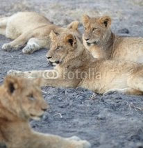 Fototapety Lions at rest
