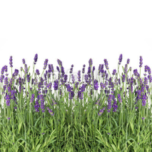 Naklejki fresh lavender flowers isolated on white
