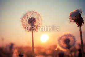 Fototapety Real field and dandelion at sunset