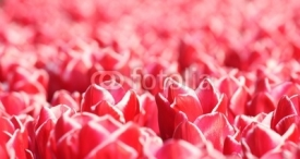 Fototapety Red tulips