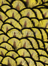 Naklejki Macro photograph of the yellow feathers of a peacock.