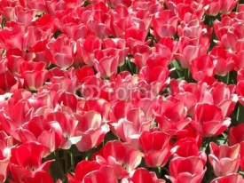 Fototapety red tulips carpet background