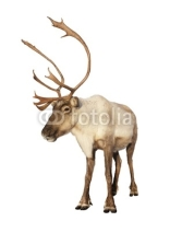 Fototapety Complete caribou reindeer isolated