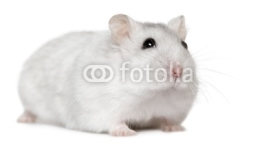Naklejki Hamster, 6months old, in front of white background