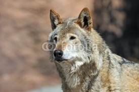 Fototapety Portrait of Wolf